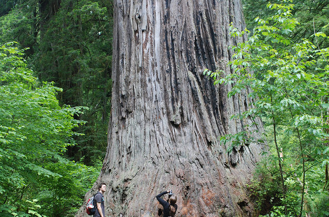 Big Tree in Redwood National and State Parks