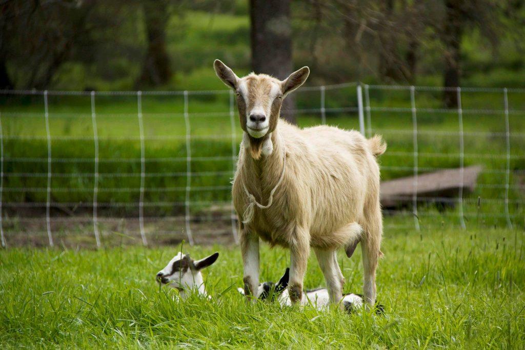 Yerba Santa Goat Dairy Farm