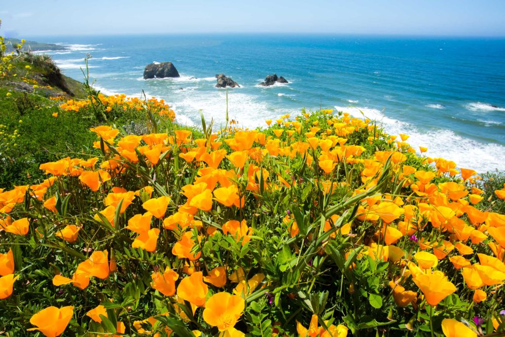 Mendocino Coastal Poppy Flowers