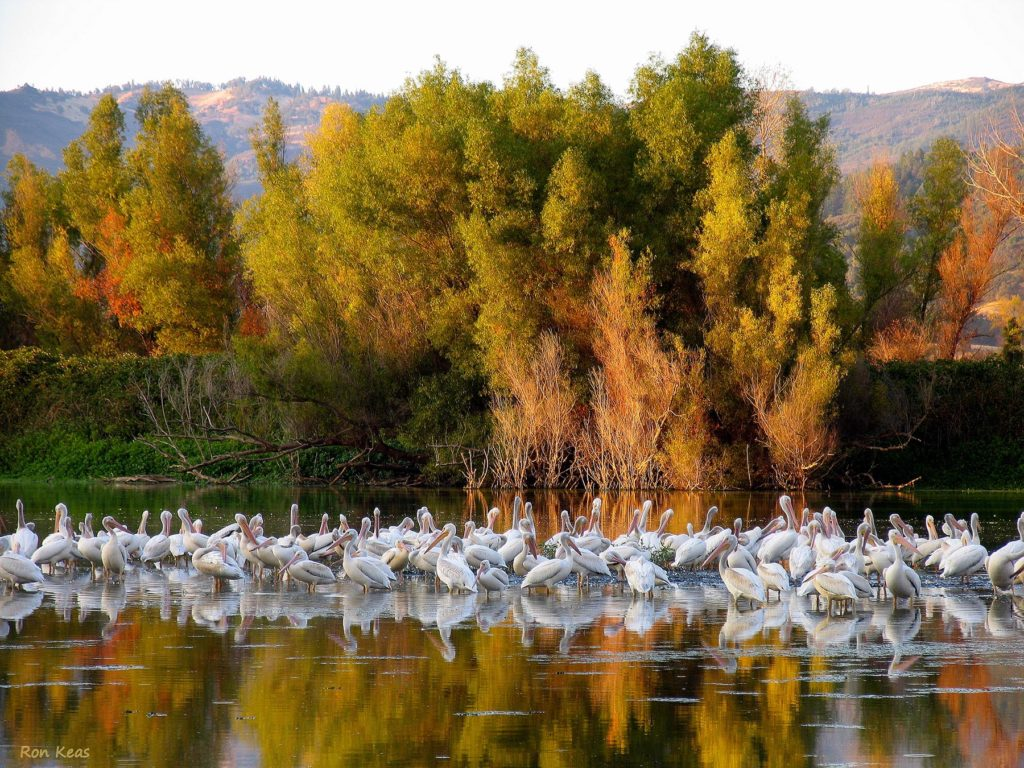Pelicans on Clear Lake