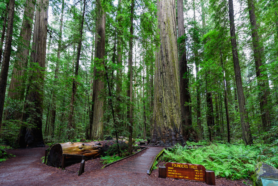 Founders Tree in Humboldt Redwoods State Park.
