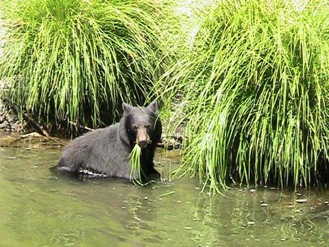 A Black bear on the banks of the Klamath.