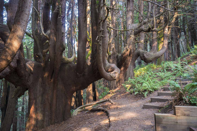 A Unique Tree on California's North Coast