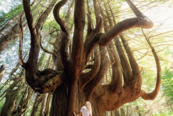 Candelabra Redwood Tree
