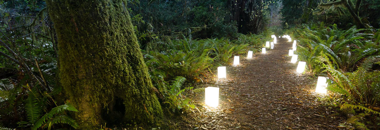 A Candlelight Walk Among the Redwoods