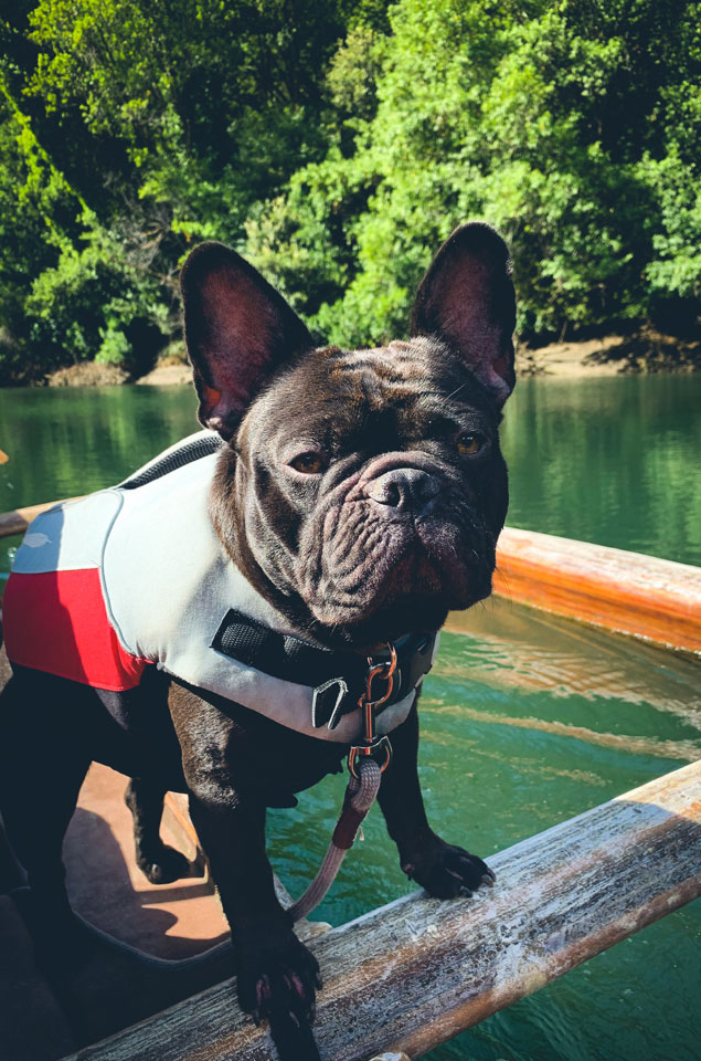 Riri, the Frenchie, loves to Canoe at Big River Beach in Mendocino County